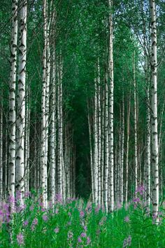 Beautiful birch forest with flowers on the forest floor