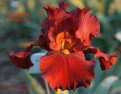 Iris LEST WE FORGET – Stout Gardens at Dancingtree