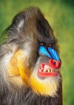 Blue faced mandrill
