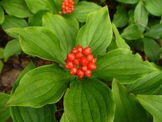 Cornus canadensis - Bunchberry berries: