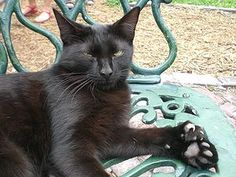 One of the polydactyl cats at the Ernest Hemingway House in Key West, Florida. This particular cat has 26 toes, two extra on each paw.