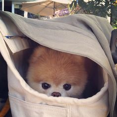 A dog in a bag! OMG!! SO CUTE KAWAII