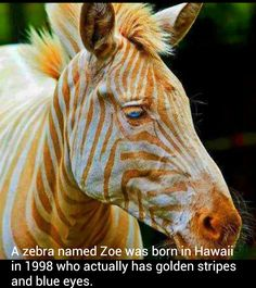 Strange and bizarre Zebra with golden stripes and blue eyes