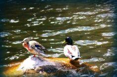 Ducks by MythicFX