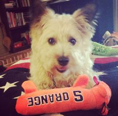 Duncan the Cairn Terrier sporting college colors for #NationalCollegeColorsDay with his Syracuse orange pup!