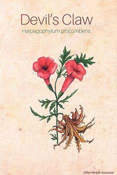 Devil's Claw (Harpagophytum procumbens)