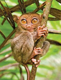 The Tarsier - World's Smallest Primate Tarsiers are haplorrhine primates of the family Tarsiidae, which is itself the lone extant...