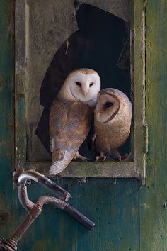 Country Barn Owls