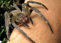 10 Reasons Why The Wandering Spider Is Your New Nightmare. Its called the wolf spider n its a very nurturing mother Big Spiders, New Nightmare, Animal Magic, All Gods Creatures, Go Outside, The Outsiders, Cool Stuff, World, Animals