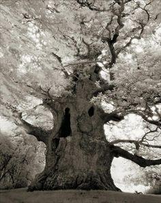 De pie como los monumentos vivos más grandes y antiguos de la Tierra, creo que estos árboles simbólicos tomarán mayor importancia, especialmente en un momento en que nuestro enfoque está dirigido a encontrar formas de vivir mejor con el medio ambiente