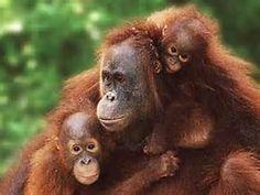 Sumatran Orangutan 7.300 left #RacingExtinction