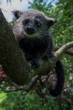 Binturong.  The newest bearcat on the block.