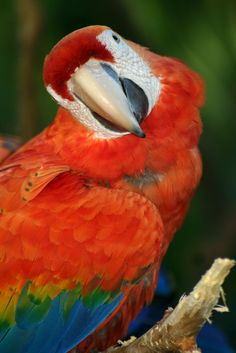 Red Macaw in a nice pose :)