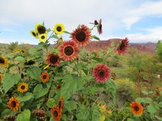 Sunflowers at Captiol Reef, Utah...