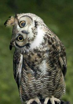 Beautiful Owl, Animals Beautiful, Cute Animals, Cute Birds, Cute Owl, Funny Owl Pictures, Regard Animal, Funny Owls, Owl Photos
