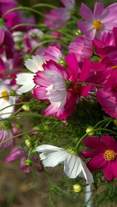 Cosmos. I always forget to plant these and they are some of the most pleasing annuals you can grow.