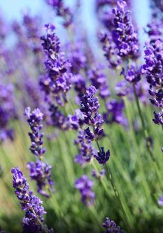 A lavanda francesa ou alfazema é uma herbácea típica da região que vai do sul da…