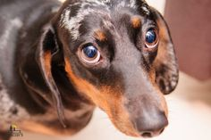 What is the expected outcome for dogs with myasthenia gravis? Whoodle Dog, Tiny Dog Breeds, Dog Growling, Dog Shaking, Dog Commands, Myasthenia Gravis, Old Dogs, White Dogs, Dog Paws