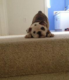 English Bulldog puppy ~ puppy pounce