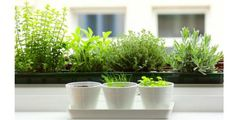 easy herbs grow in white pots on windowsill via gardenista