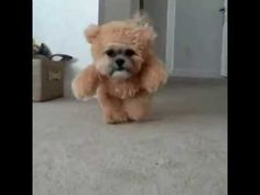"This Dog Dressed As A Teddy Bear Will Fill Your Heart With Delight << I'm sorry. I saw this and the first thought that came to my head was ""ITS FREDDIE!!!!!!! AHHHHH"""