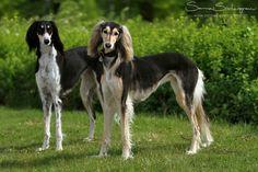Salukis, conocidos como el perro real de Egipto, es quizás la raza de perro domesticado, más antigua conocida y el más antiguo de los lebreles (by SaNNaS)