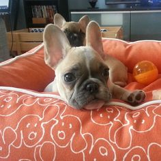 Frenchies. Cute with the other pup showing through the ears!