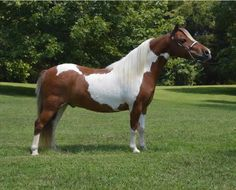 Here is a Nighthawk son as pretty as he is colorful! He has that classic Nighthawk style that has won over judges and the mini world for many years. He is fun and simple, perfect for a youth or amateur. Offered by Mini Horse Sales