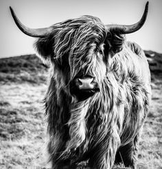 Highland Cattle B&W - Ecosse Images Highland Cow Painting, Highland Cow Canvas, Highland Cow Print, Highland Cattle, Wood Plastic, Peony Painting, Fashion Wall Art, Cute Creatures, Canvas Wall Art