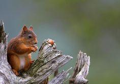 Red squirrel - Ole Petter Drangsholt - Pixdaus