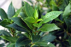 5 fresh Seeds w/Instructions Culinary bay tree. Laurus nobilis is an aromatic evergreen tree or large shrub with green, glossy leaves, in the flowe Bay Laurel Tree, Laurel Leaves, Leave In, Bay Leaf Plant, Plant Leaves, Tree Leaves, Insect Repellent Plants, Fresh Bay Leaves, Laurus Nobilis