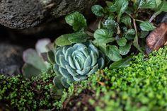 Estas suculentas se reproducen muy fácilmente cuando estan en su clima y suelo ideal. (Les gustan las rocas) 😉 Plants, Rocks, Flooring, Succulents, Flora, Plant