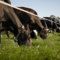 Cows in paddock grazing