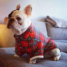Manny, the French Bulldog, is a Lumberjack in Plaid, manny_the_frenchie's photo on Instagram