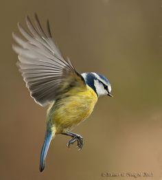 Mésange bleue - European Blue Tit in for a landing. Cute Birds, Pretty Birds, Small Birds, Little Birds, Colorful Birds, Beautiful Birds, Blue Tit Tattoo, Tattoo Bird, Photo Animaliere