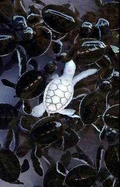 30 Rarely Seen Albino Animals From Around The World…Amazing! - One day I will see an albino animal. An albino baby turtle swims with green sea turtle babies in a pond at Khram island, near Pattaya, Thailand. Cute Baby Animals, Animals And Pets, Funny Animals, Animal Memes, Wild Animals, Animals Planet, Strange Animals, Small Animals, Unique Animals