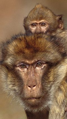 magnificent looking monkeys