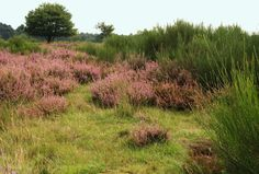 Heather (Calluna vulgaris) makes a romantic sweeping ground cover of purple-pink. Heather plants are finicky; they require rich and acidic soil, full sun, excellent drainage and annual pruning to look their best. Plant them alongside a walkway, as a creeping ground cover bordering a woodland garden or in drifts on a hillside for a dramatic effect.