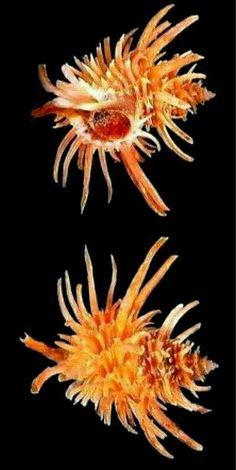 Babelomurex echinatus - Prickly Latiaxis