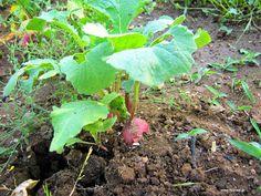 Ραπανάκια-καλλιέργεια Athens, Garden, Plants, Decor, Tape, Garten, Decoration, Lawn And Garden, Gardens