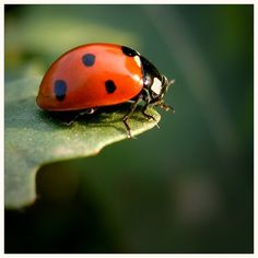 ***Asian beetles will take over the earth.  We have been inundated by thousands upon thousands inside our homes seasonally...some years worse than others.  K.W.