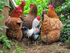 Four Hens and a Rooster......Looooove roosters and hens!!!!!!