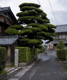 Beautifully sculpted Japanese pine.
