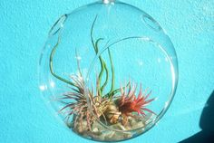 Hanging terrarium with different air plants