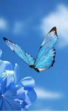 Beautiful Butterflies are one of a lot of varied as well as attractive insects worldwide. Butterfly Kisses, Butterfly Flowers, Blue Butterfly, Beautiful Butterflies, Adorable Petite Fille, Himmelblau, My Favorite Color, Beautiful Creatures, Shades Of Blue