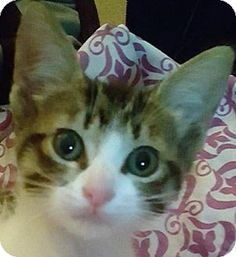Pictures of Hendrix a Domestic Shorthair for adoption in Dallas, TX who needs a…