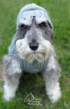 Miniature Schnauzer by Fix Your Images Photography