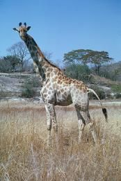 Giraffe standing in grass. 1958 - 1988. W.  G. Garst Photographic Collection, University Archive, Archives and Special Collections, CSU, Fort Collins, CO