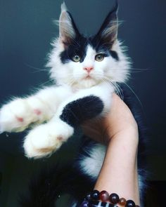 Maine Coon kitten. <3