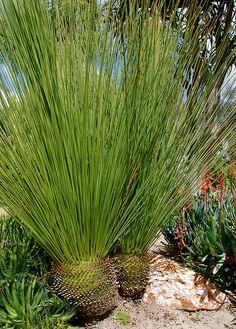 Dasylirion Longifolium Mexican Grass Tree